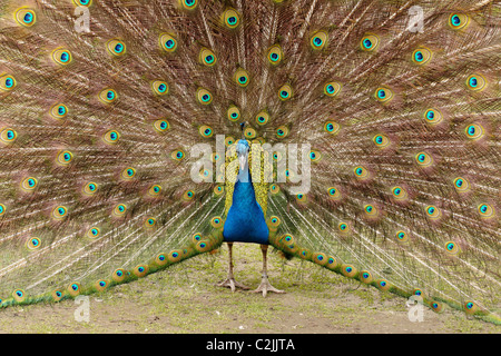 Male peacock displaying feathers during courting ritual-Victoria, British Columbia, Canada. - Stock Photo