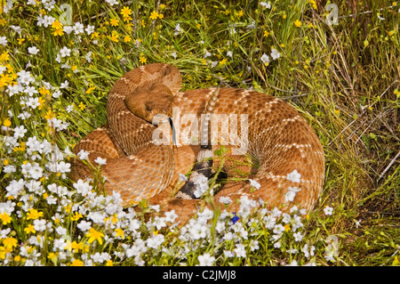Red-Diamond Rattlesnake - Stock Photo