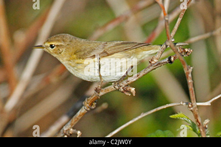 Willow Warbler ,Phylloscopus trochilus, perching in brambles - Stock Photo