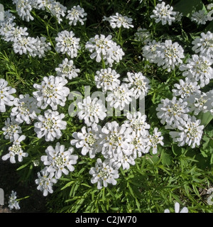 Iberis sempervirens cultivar 'Weisser Zwerg' common name Candytuft - Stock Photo