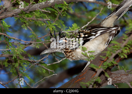 Roadrunner in a mesquite tree - Stock Photo