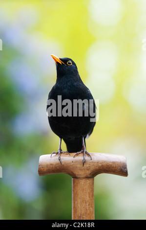 Blackbird on a wooden garden fork handle - Stock Photo