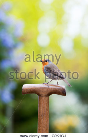 Robin on a wooden garden fork handle with colourful background - Stock Photo