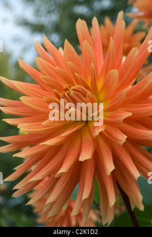 Stock photo of orange dahlia in garden. - Stock Photo