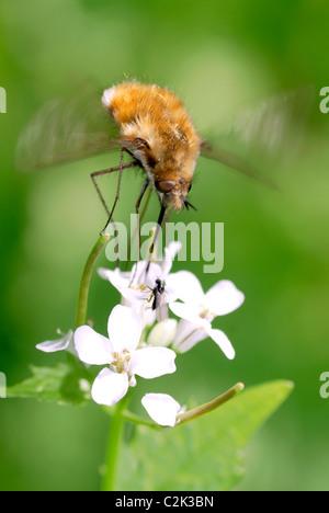 Macro large bee fly (Bombylius major) feeding on white flower