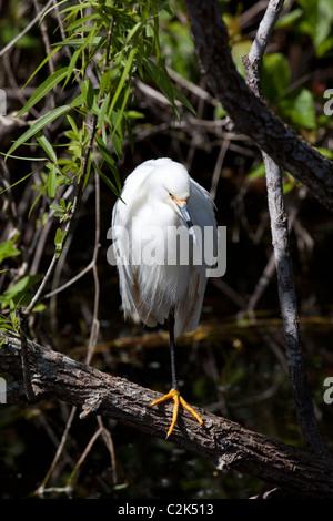 Snowy egret (egretta thula) at Shark Valley, South Florida, USA - Stock Photo