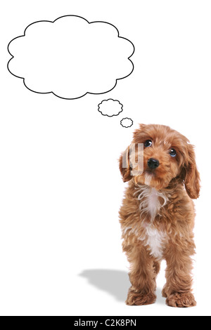 Photo of a Cockerpoo puppy with a thoughtful expression and his eyes looking up, thought bubbles added. - Stock Photo