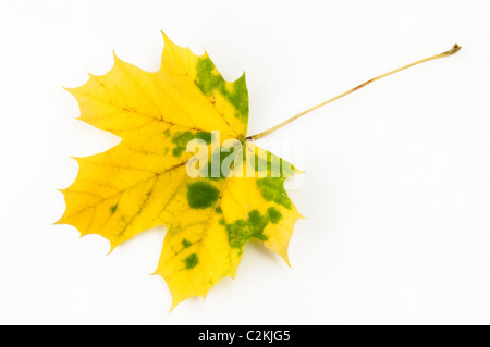 Norway Maple (Acer platanoides), autumn leaf. Studio picture against a white background. - Stock Photo