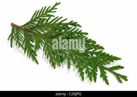Eastern Arborvitae (Thuja occidentalis), twig. Studio picture against a white background. - Stock Photo
