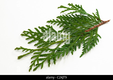 Eastern Arborvitae (Thuja occidentalis), twig. Studio picture against a white background. - Stock Photo
