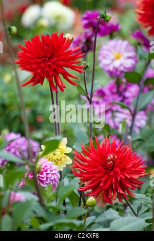 Red Cactus Dahlia 'Bergers Record' in dahlia border - Stock Photo