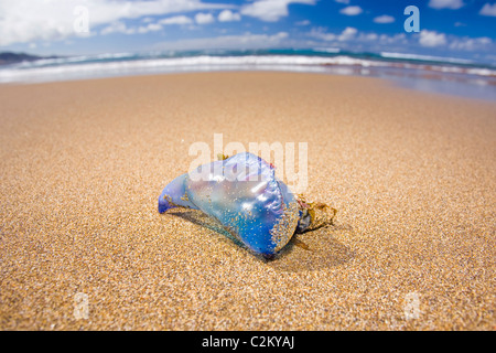 Stranded Portuguese Man o'War on the beach in Las Canteras Beach, Gran Canaria, Spain. - Stock Photo