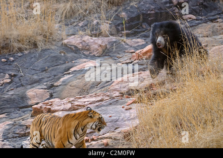 Mother bear with two cubs on her back fights a wild tigers in Ranthambhore national park, India - Stock Photo