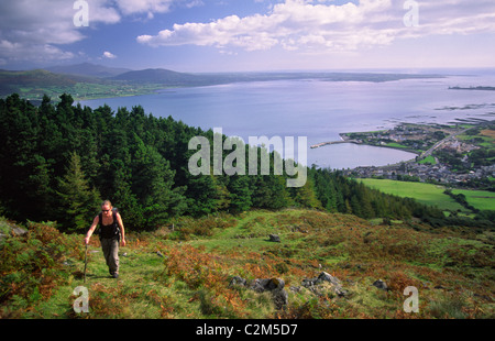 Walker climbing Slieve Foye above Carlingford Lough, County Louth, Ireland. - Stock Photo