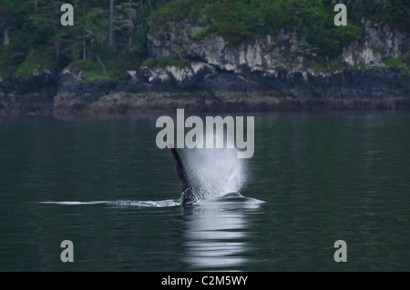 Orca or killer whale, Vancouver Island, BC, Canada - Stock Photo
