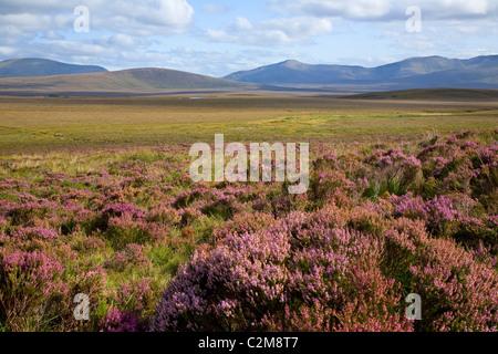 Heather blooming beneath the Nephin Beg Mountains, Ballycroy National Park, County Mayo, Ireland. Stock Photo