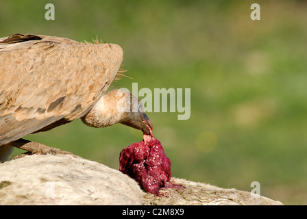 Griffon or Eurasian Vulture standing on back of horse carcass feeding - Stock Photo