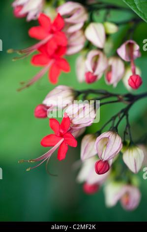Clerodendrum x speciosum. Java Glory Vine. Red bleeding heart vine in flower