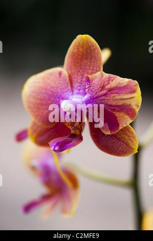 Phalaenopsis magical gx flower. Moth orchids - Stock Photo