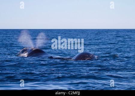 Southern right whale with the distinctive V-shaped blow, surfaces with calf, Puerto Madryn, Argentina - Stock Photo