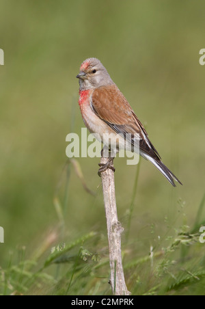 Linnet Carduelis cannabina male coming to drink at pond - Stock Photo