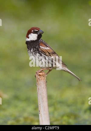 Spanish Sparrow Passer hispaniolensis male coming to drink at pond - Stock Photo