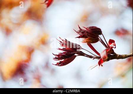 Acer Platanoides 'Goldsworth purple'. Norway Maple tree new leaves in spring. UK - Stock Photo