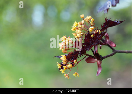 Acer Platanoides 'Goldsworth purple'. Norway Maple tree in flower. UK - Stock Photo