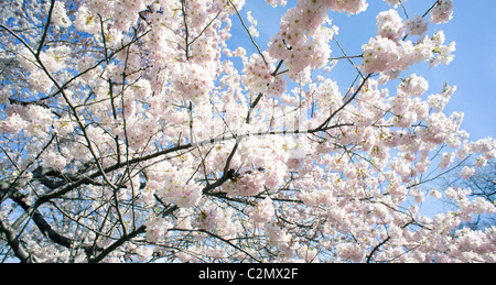 Cherry blossoms in Central Park, New York City. - Stock Photo