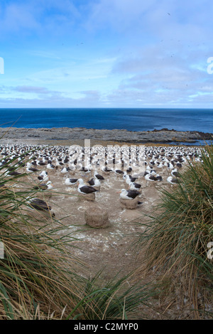 The massive breeding colony of black-browed albatrosses on Steeple Jason Island, West Falklands - Stock Photo