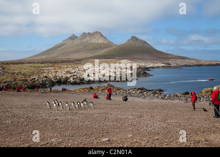 Tourists watching gentoo penguins heading towards their colony, Steeple Jason Island, West Falklands - Stock Photo