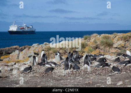Gentoo penguin colony, Steeple Jason Island, West Falklands - Stock Photo