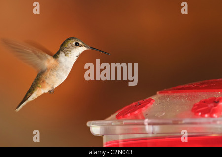 Rufous Hummingbird (Selasphorus rufus) flying near birdfeeder - Stock Photo