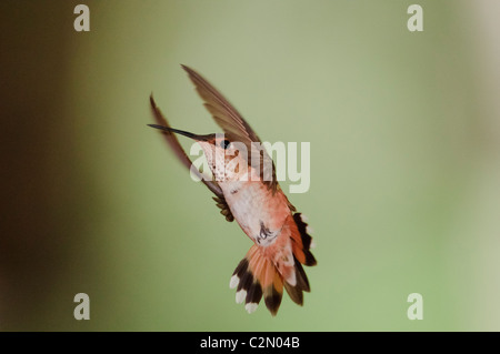 Rufous Hummingbird (Selasphorus rufus) flying - Stock Photo