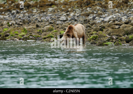 Grizzly bear drinking, Knight Inlet, British Columbia, Canada - Stock Photo