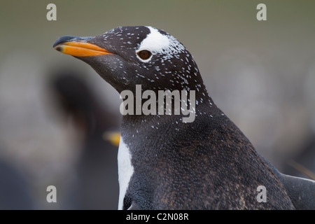 Gentoo penguin, Steeple Jason Island, West Falklands - Stock Photo