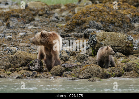 Grizzly bear with cub of year, Knight Inlet, British Columbia, Canada - Stock Photo