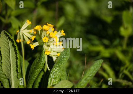 Cowslips growing in the 'On The Verge' show garden at RHS Cardiff Flower Show 2011, Wales, United Kingdom - Stock Photo