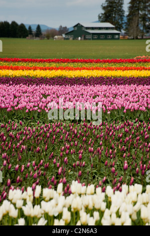 Fields of colorful tulips can be seen growing at the Skagit Valley Tulip Festival near Mt. Vernon in Washington - Stock Photo