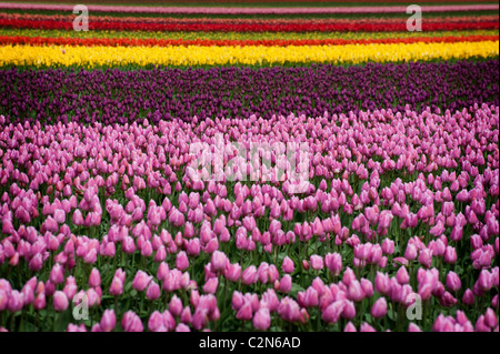 Colorful tulip fields can be seen in the springtime in the Skagit Valley of Washington state. - Stock Photo