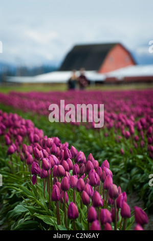 Fields of colorful tulips can be seen growing at the Skagit Valley Tulip Festival near Mt. Vernon, Washington State. - Stock Photo
