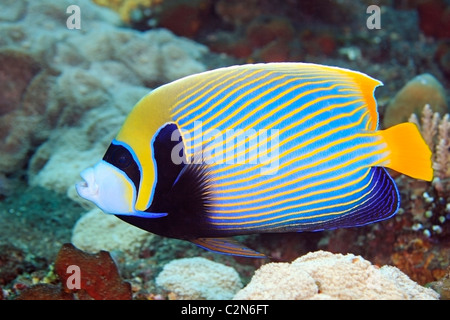 Emperor Angelfish. Pomacanthus imperator, swimming on the reef, underwater. - Stock Photo