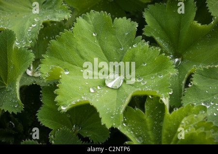 Raindrops on an Alchemilla Mollis Lady's Mantle leaf, water, droplets,plant, garden, rain, drops - Stock Photo