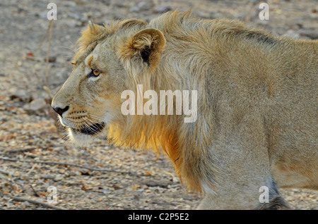 Sub adult asiatic lion on the prowl - Stock Photo