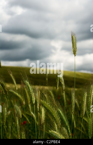 Wheat stems standing up against stormy sky - Stock Photo