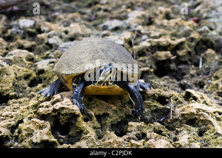Florida red-bellied turtle, Pseudemys nelsoni, Big Cypress Swamp, Florida, USA - Stock Photo