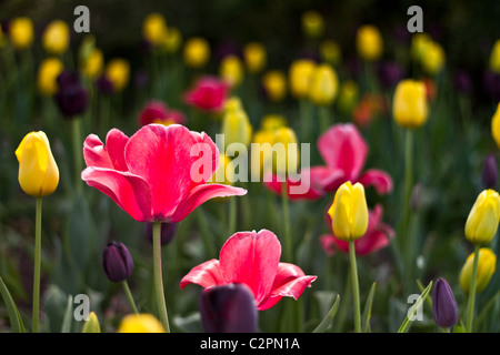 Tulips (tulipa) in spring - Stock Photo