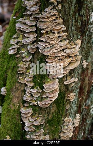 Turkeytail Bracket Fungus Many Zoned Polypore Trametes versicolor, Coriolus versicolor, Polyporus versicolor, Polyporaceae. - Stock Photo