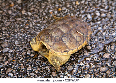 Common Snapping Turtle on a wet road in southern Louisiana, outside of Lafayette - Stock Photo