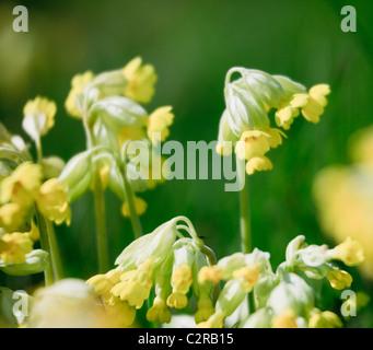 Cowslips (Primula veris) in close-up. Wales, UK, Britain - Stock Photo